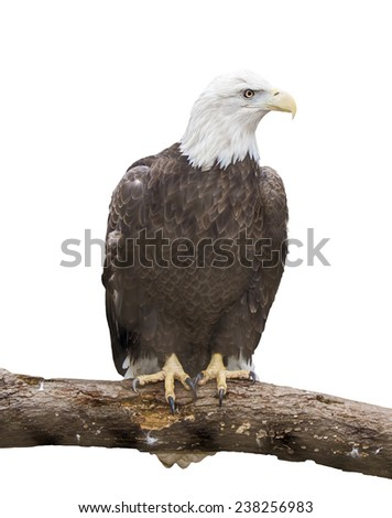 Bald eagle on branch isolated on white - stock photo