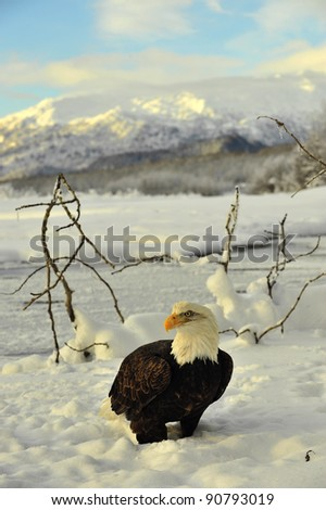 Bald Eagle on snow. An Bald eagle on snow at bottom of mountains. Winter. Alaska. USA - stock photo