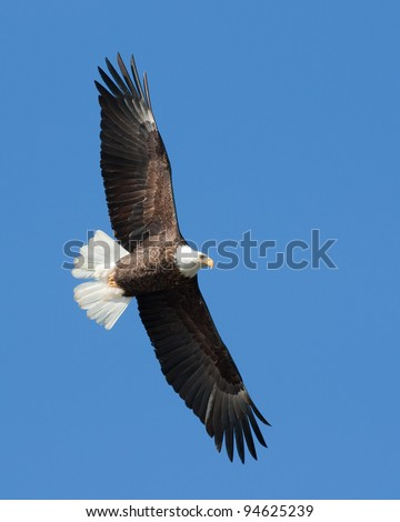 Bald Eagle on the wing - stock photo