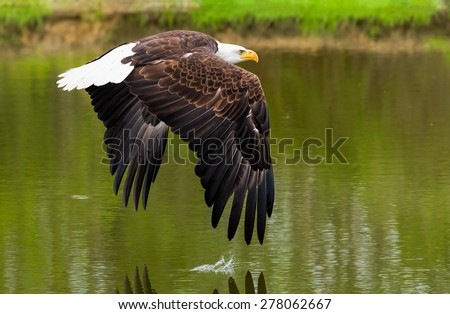 Bald eagle over a pond - stock photo