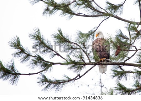 Bald Eagle perched on a tree in coeur d alene idaho mid december - stock photo