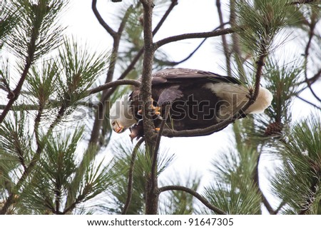Bald Eagle perched on a tree in coeur d alene idaho mid december eating a fresh fish - stock photo
