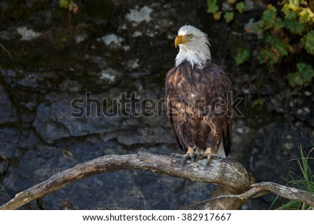 Bald eagle perched on a twig - stock photo