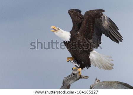 Bald Eagle perched on drift wood in Homer, Alaska - stock photo