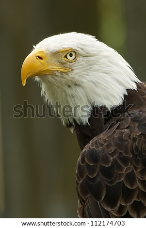 Bald Eagle Portrait - stock photo