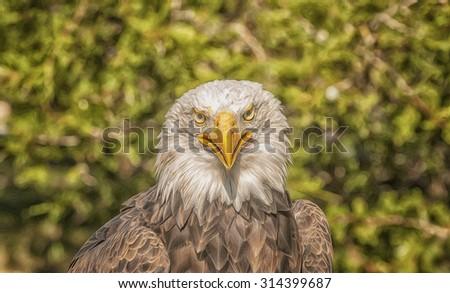 Bald eagle portrait,digital oil painting - stock photo