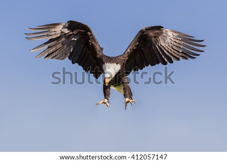 Bald Eagle pouncing. A magnificent bald eagle has its talons ready as it prepares to pounce on its target. - stock photo