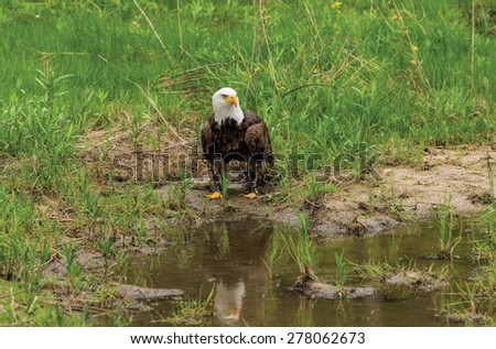 Bald Eagle reflected in a pond - stock photo