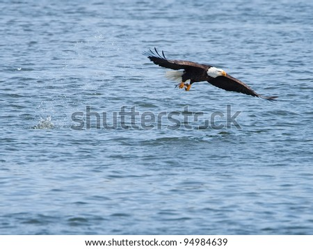 Bald eagle snatching a fish from water - stock photo