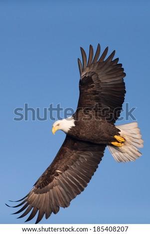 Bald Eagle Soaring  - stock photo