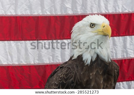 Bald Eagle with the American Flag - stock photo