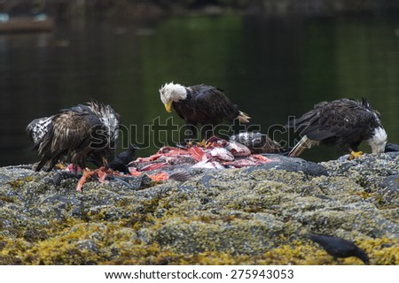 Bald Eagles feeding on fish carcass, Skeena-Queen Charlotte Regional District, Haida Gwaii, Graham Island, British Columbia, Canada - stock photo