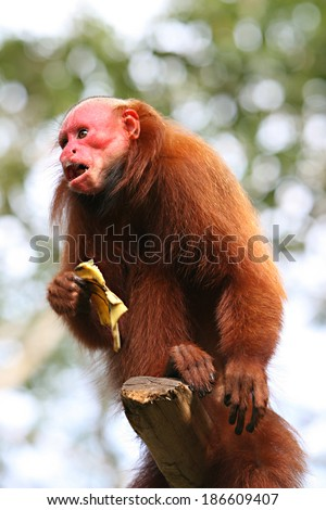 Bald Uakari, A red faced monkey sitting on top of a tree enjoying a banana - stock photo