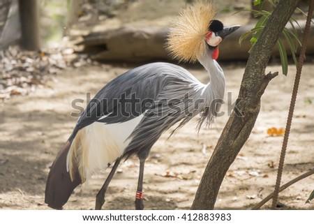 Balearica regulorum, Grey crowned crane - stock photo