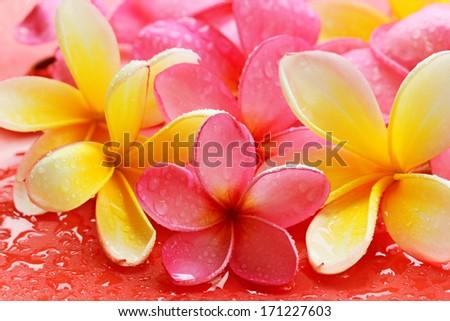Bali frangipani flowers - stock photo