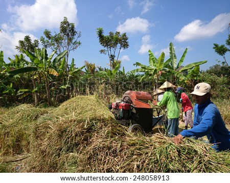 BALI, INDONESIA - SEPTEMBER 18, 2014: Farmers harvest rice grains from the rice stalks freshly cut on the paddy field. Most of the farming work is done by traditionally by hand and simple machinery. - stock photo