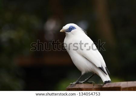 Bali Starling (Leucopsar rothschildi) - stock photo