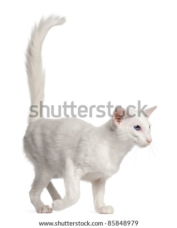 Balinese cat, 1 year old, walking in front of white background - stock photo