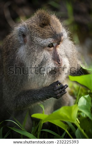 Balinese Monkeys. The monkeys within the Sacred Monkey Forest of Padangtegal are commonly called long-tailed macaques. Macaques are found throughout Southeast Asia. - stock photo