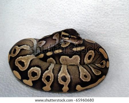ball python 20 - stock photo