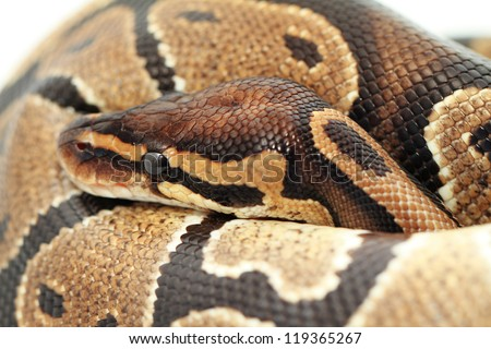 Ball Python close up (Python Regius) - stock photo