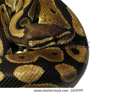 Ball Python isolated on white - stock photo