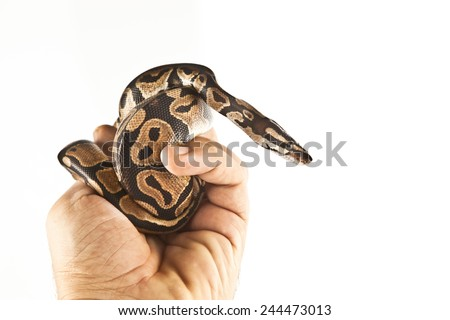 Ball Python on the hand with white background - stock photo