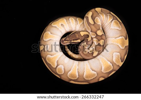 Ball python or Royal python on black background, Butter Enchi morph or mutation - stock photo