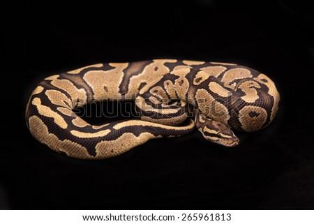 Ball python or Royal python on black background, Fire morph or mutation - stock photo