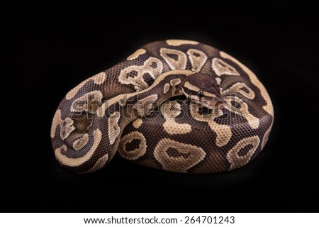 Ball python or Royal python on black background, Mojave morph or mutation - stock photo