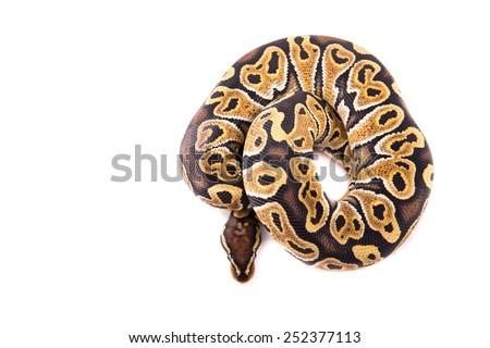 Ball python or Royal python on white background, Special morph - stock photo