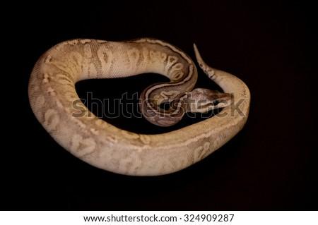 Ball Python - Python regius, isolated on a black background. - stock photo