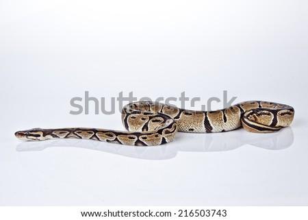 Ball Python with white background - stock photo
