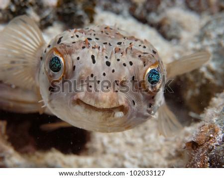 balloon fish - stock photo
