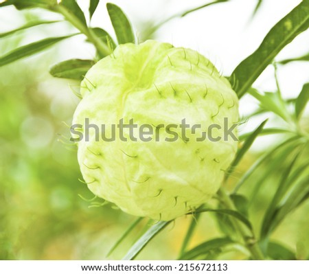 Balloon flower with some green cover - stock photo