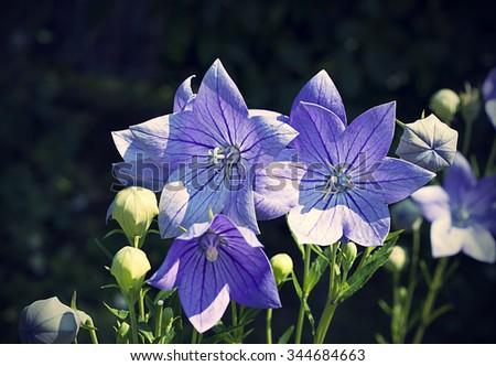 Balloon flowers (Platycodon grandiflorus) in garden - stock photo