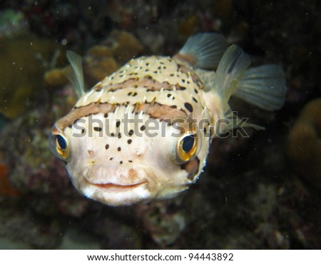Baloonfish - stock photo