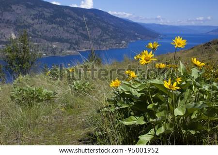 Balsam Root wildflower overlooking Okanagan Lake BC - stock photo