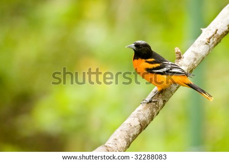 Baltimore Oriole - stock photo