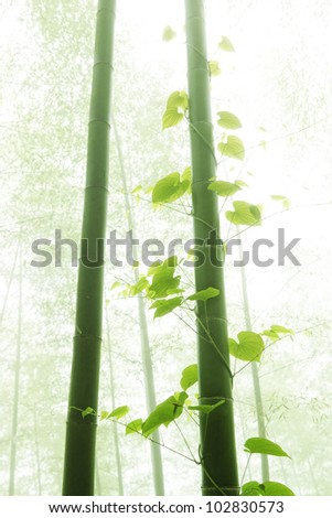 bamboo and vine with morning fog weather - stock photo