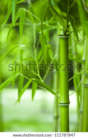 Bamboo forest, bamboo forest in China has special cultural symbol, clean, proud, - stock photo
