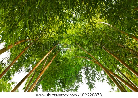 Bamboo Forest, converging at the top. Tropical forest. - stock photo