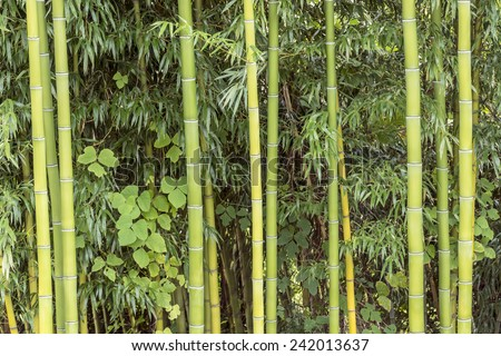 Bamboo Forest Growing Horizontal Shot - stock photo
