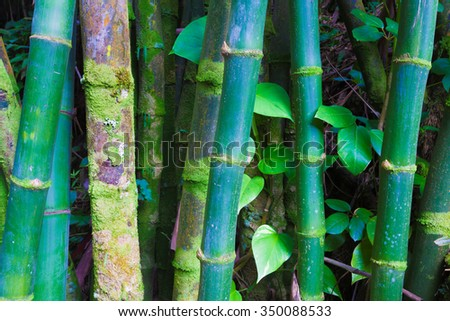 Bamboo forest in Hawaii - stock photo