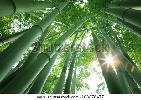 Bamboo forest in the morning - stock photo