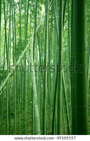 bamboo forest in the summer time kyoto japan - stock photo