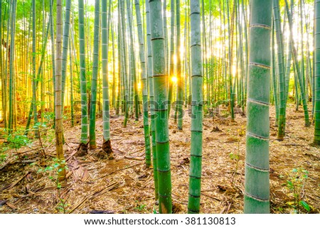 Bamboo forest with sunny in morning - stock photo