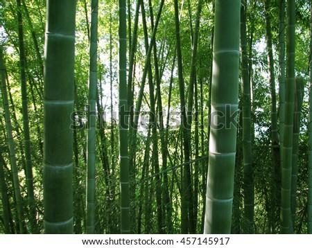 Bamboo grove, bamboo forest natural green background, Georgia, Batumi Botanical Garden - stock photo