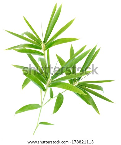 Bamboo leaf foliage isolated white - stock photo