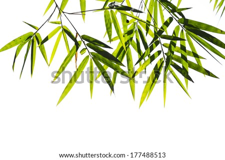Bamboo leaves high resolution image isolated on a white background with clipping path - stock photo
